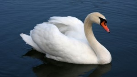 Join The Fight to Save The MUTE SWANS