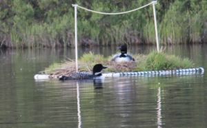 Loon Parents and Baby 6 Mile Lake 06_06_2014