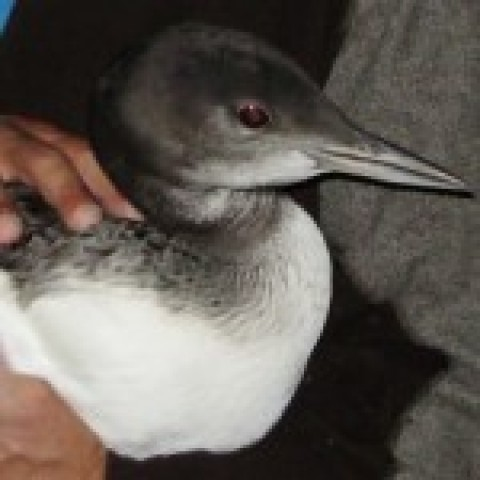 Loon Banding on Six Mile Lake