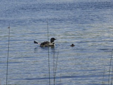 Six Mile Lake Loons – August 2018