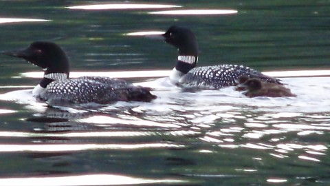 """Banding"" The Loons on Six Mile Lake"